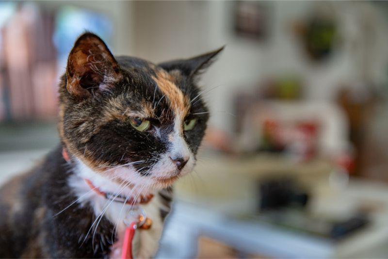 LA cat without pet toxins