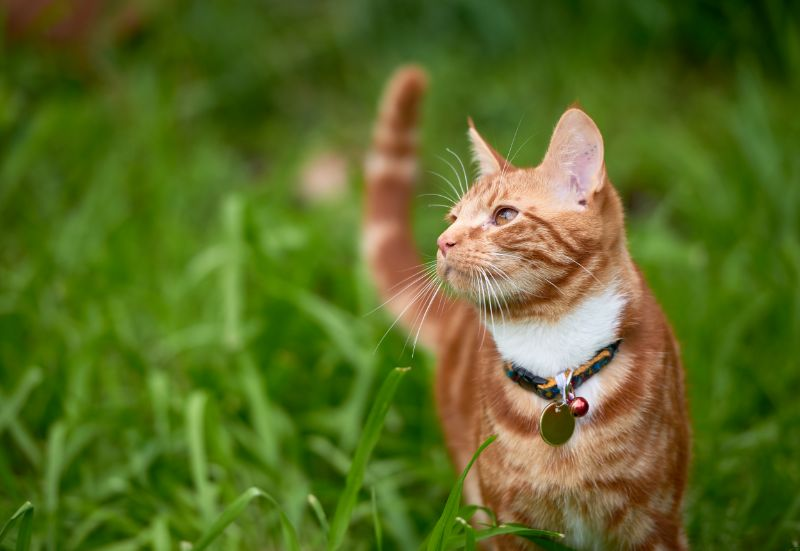 A short-haired orange cat wearing a collar with tags strolls through the grasses