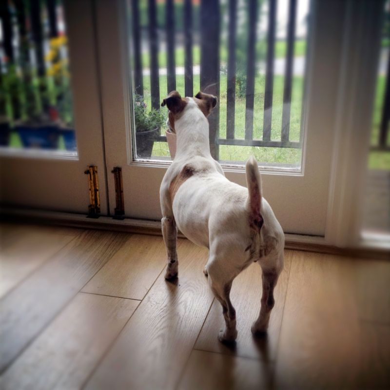 A Jack Russel Terrier waits by the door with its tail-a-waggin!