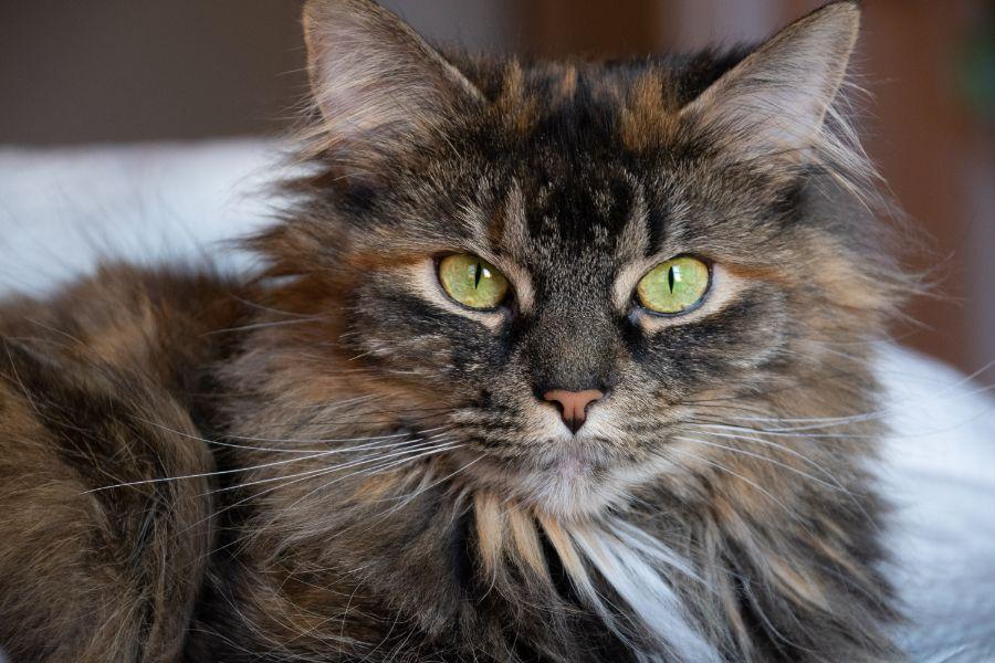 6-toed Hemingway cat